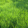 Fresh grass — Stock Photo #2189526