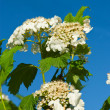 Blossoming guelder-rose — Stock Photo