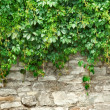 Stone wall and plants - 图库照片