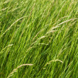 Stock Photo: Long green grass
