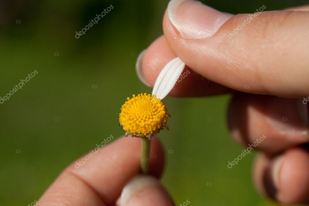 Guessing on a camomile — Stock Photo #2189482