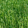 Green ear wheat — Stock Photo