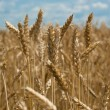 Field wiht wheat — Stock Photo