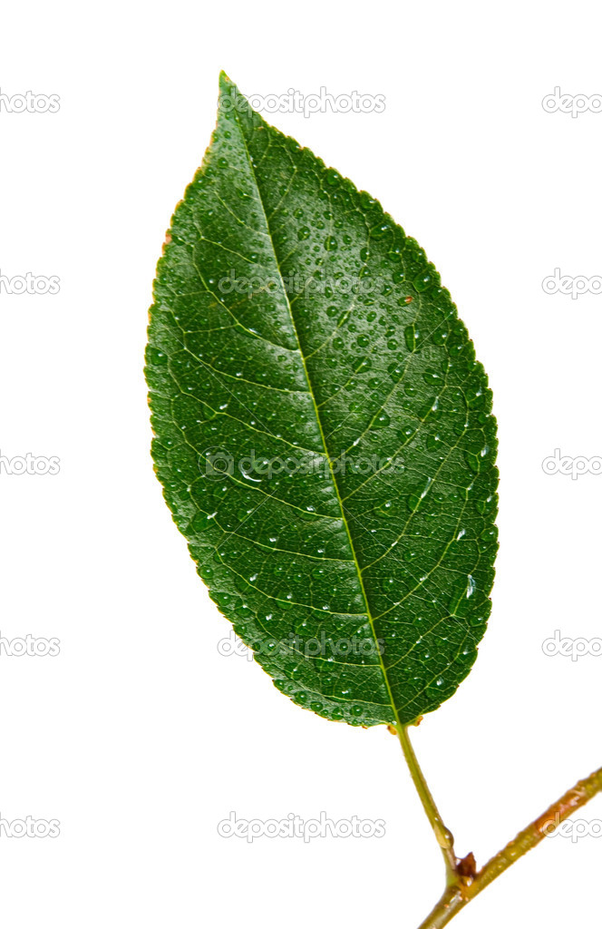 Cherry leaf with drop  Stock Photo #2350219
