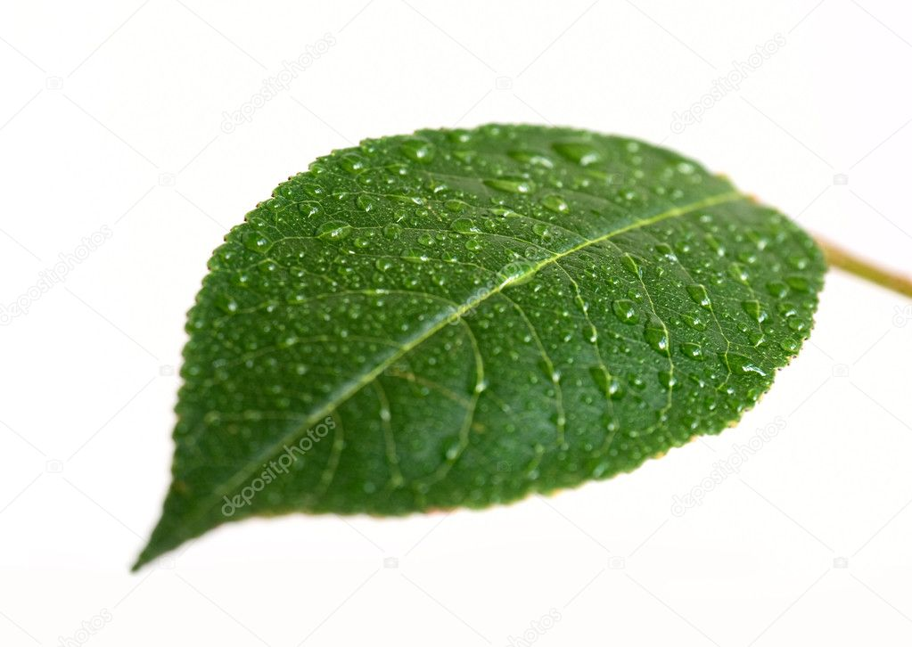 Cherry leaf with drop — Stok fotoğraf #2350245