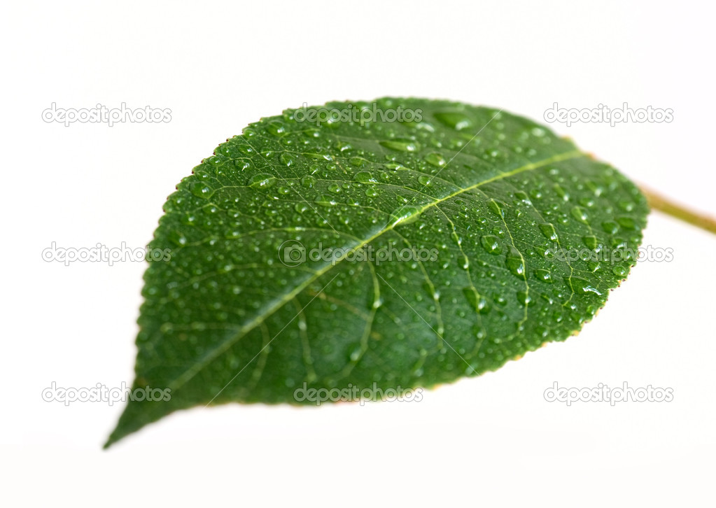 Cherry leaf with drop — Stockfoto #2350245