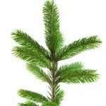 Pine tree branch — Stock Photo