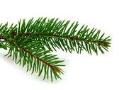 Pine oddział — Zdjęcie stockowe