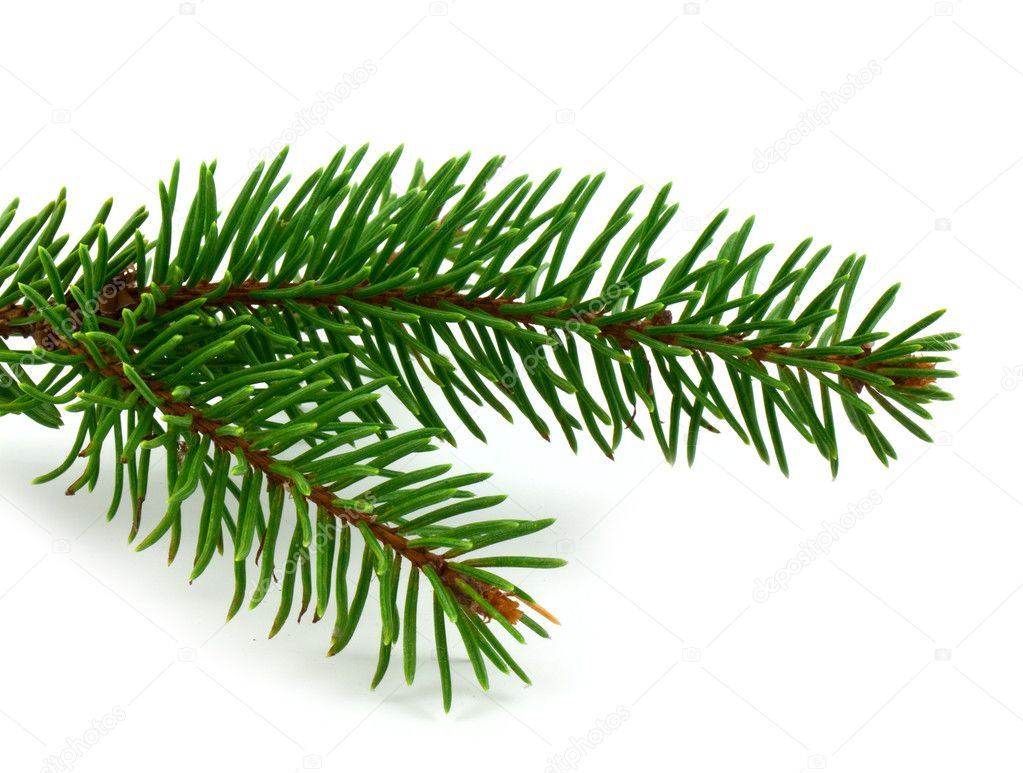 Pine tree branch isolated on white backgrond.  Stock Photo #2384354