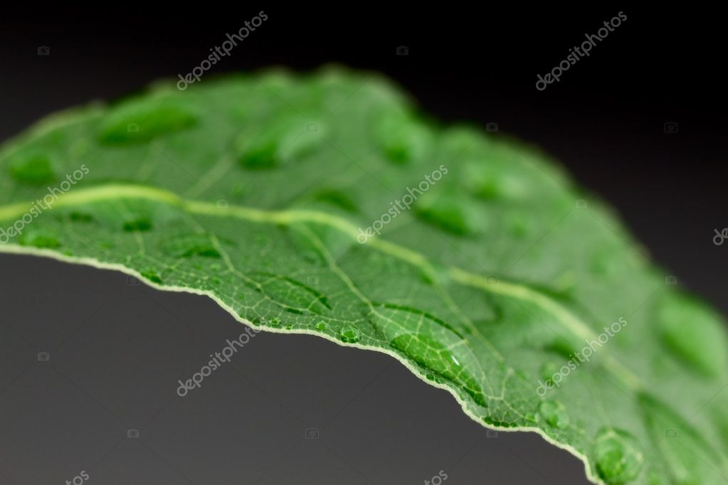 Laurel leaf on gray background — Stock Photo #2384785