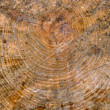 Wooden trunk cut as texture — Stock Photo