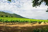Beautiful vineyard in Catalonia — Stock Photo