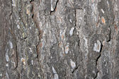 Old pine bark — Stock Photo