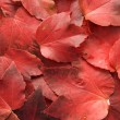 Background of red autumn leaves — Stok fotoğraf