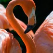 Pink Flamingo — Stock Photo #1822921