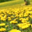 Yellow dandelions — Stock Photo #1837691