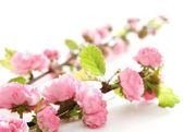 Pink flowers — ストック写真