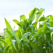 Green maize on the blue sky background - Stock Photo