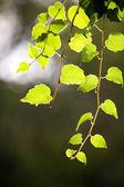 Leaf grape vines — Stock Photo