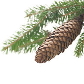 Small branch of spruce with cone — Stok fotoğraf