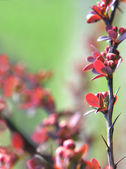 Red plant twig — Foto de Stock