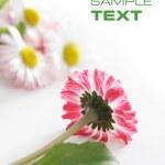 Pink daisy — Stock Photo