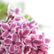 Stock Photo: Violet flowers of lilac