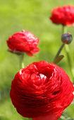 Kırmızı çiçek — Stok fotoğraf
