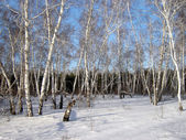 Birchwood� — Stockfoto
