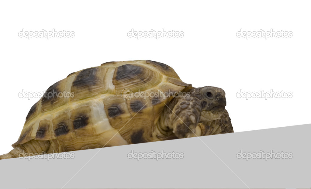 Tortoise isolated over white background — Stock Photo #1789990