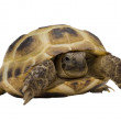 Royalty-Free Stock Photo: Tortoise