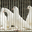 Doves in cage — Stock Photo