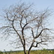 Dry tree — Stock Photo #1808694