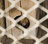 Fox in the zoo — Stock Photo