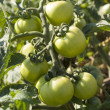 Unripe tomatoes — Stock Photo #1810476