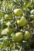 Unripe tomatoes — Stock Photo