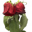 Two withered roses - Stock Photo