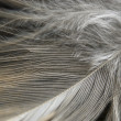 Feather — Stock Photo