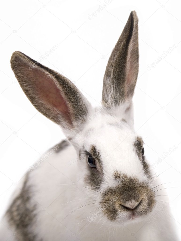 Spotted rabbit on a white background — Stock fotografie #1870994