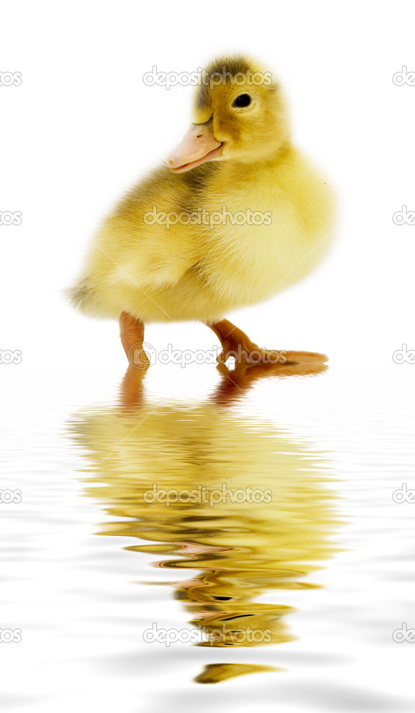 Nice duckling reflected in water — Stock Photo #1871160