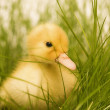 Cute duckling — Stock Photo #1890699