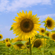 Field of sunflowers -  
