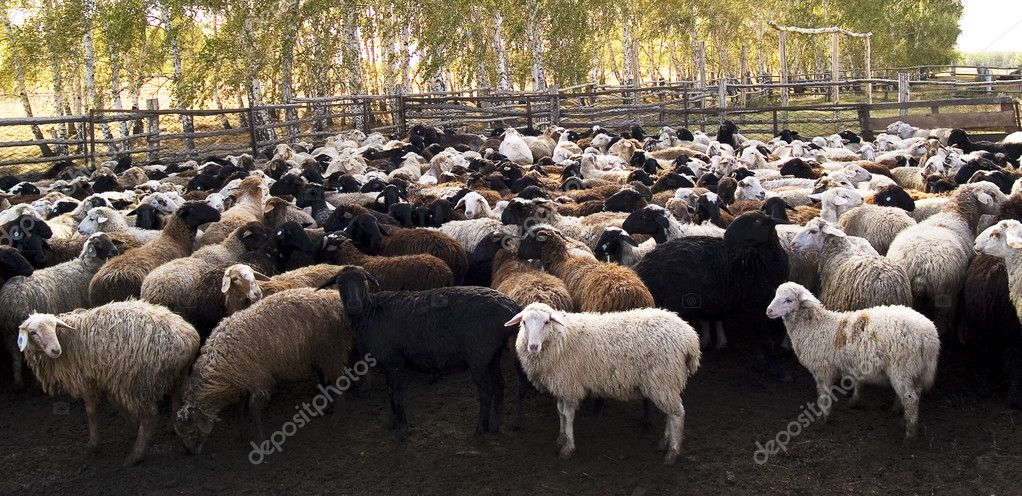 Herd of the ewes behind fence on a farm  Stock Photo #1808923