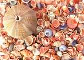 Sea urchin and seashells — Stock Photo