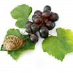 Burgundy snail on grapevine — Stock Photo #1851004