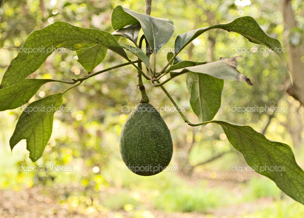 Branch of avocado — Stock Photo #1850426