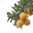 A branch with ripe oranges — Stock Photo #1873467