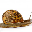 Close up of Burgundy snail — Foto Stock