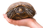 Girl's hand with a turtle — Stock Photo