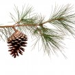 Pine branch with cone — Stock Photo